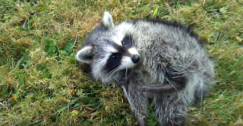 What are Some Ways to Kill a Raccoon in the Yard?