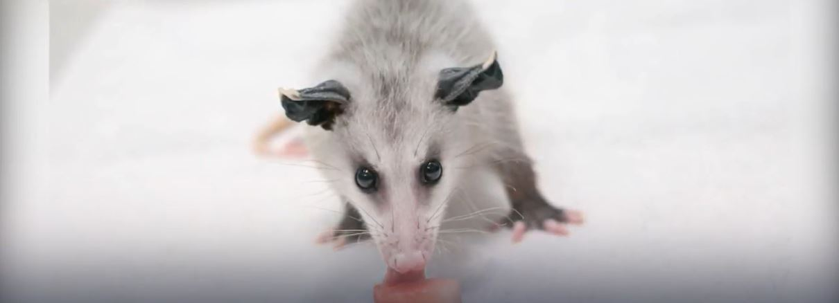 About Opossums: Appearance, Biology, Life Cycle, Habitat