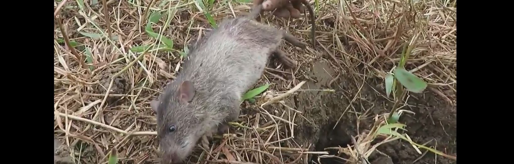 How long does it take for a dead rat to start smelling, and