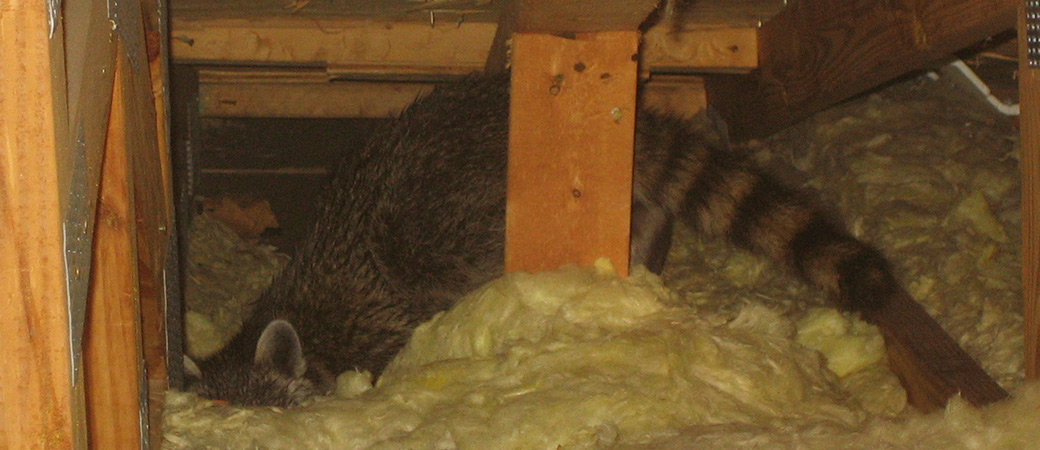 Noises in the Attic - What Types of Animals Make What Noises