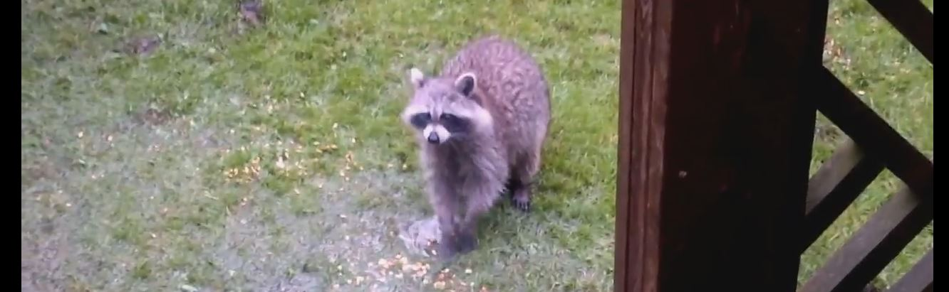 What are Racoons Scared Of?